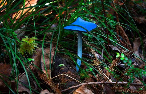 Blue mushroom, Mamaku Plateau NZ